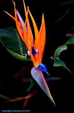 Bird Of Paradise - An Exotic Flower like None Other