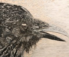 Black and White, by Debbie Hebert Dark Wings, Crows, Ravens, Bird, Black And White, Drawing, Projects, Log Projects, Blanco Y Negro