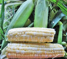 How to Freeze Sweet Corn - enjoy it all year long