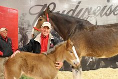 Baby Budweiser Clydesdales at Warm Springs Ranch in Boonville, Come get a guided tour of the Anheuser-Busch Clydesdale breeding facility April through October. Pretty Horses, Horse Love, Beautiful Horses, Simply Beautiful, Clydesdale Horses Budweiser, Warm Springs Ranch, Budweiser Commercial, Water For Elephants, Draft Horses