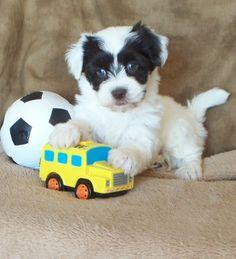 Image Gallery Havanese Puppies Sale Iowa