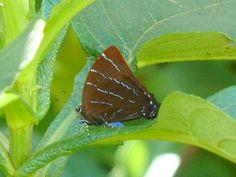 https://flic.kr/p/bxSCdg | Hairstreak butterfly, Micandra platyptera? Lycaenidae