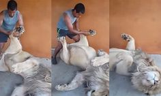 Animal keeper in South Africa gives huge lion a 'paw' massage!
