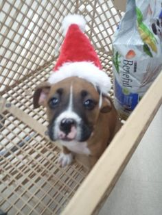 xmas boxer our new puppy - Imgur