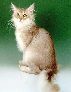 http://www.somali-cats.co.uk/club/images/Colour%20&%20Misc%20pictures/cat_9.jpg
