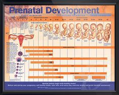 Prenatal Development anatomy poster shows fertilization, implantation and fetal development through third trimester. ObGyn chart for doctors and nurses. Prenatal Development, Child Development, Student Midwife, Medical Information, Midwifery, Nursing Students, Anatomy, Poster, Third Trimester