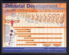 Prenatal Development anatomy poster shows fertilization, implantation and fetal development through third trimester. ObGyn for doctors and nurses.