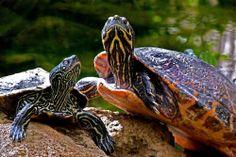 Schildkröten im Schmetterlingshaus Bendorf-Sayn von Mohr Wilfried