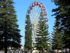 Norfolk pine trees frame a Ferris wheel in the Esplanade Reserve at Fremantle, Western Australia. Norfolk Pine, Western Australia, Ferris Wheel, Westerns, Fair Grounds, Trees, Frame, Picture Frame, Tree Structure