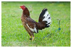 Hennie Game Fowl