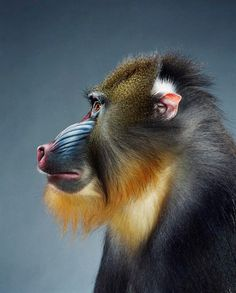Profile of a mandrill. I've photographed mandrills lots of times and their fur is always so difficult to distinguish.