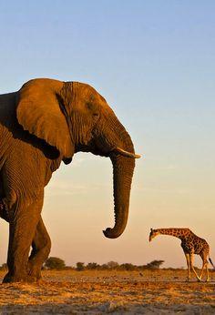 Elephant & Giraffe, Etosha National Park, Namibia. By Susan McConnell.