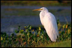 "Visual #BibleVerseoftheDay: Psalm 96:1-3a and a Great Egret, Central Florida. ""Proclaim good tidings of His salvation from day to day. Tell of His glory…"" CLICK THE PHOTO for the complete passage.   http://visualverse.thecreationspeaks.com/new-song/"
