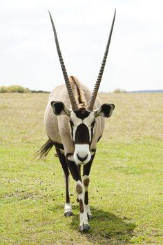 Beautiful Creatures, Animals Beautiful, Deer Species, African Antelope, Moose Deer, Exotic Pets, Exotic Animals, Unusual Animals, Deer Family