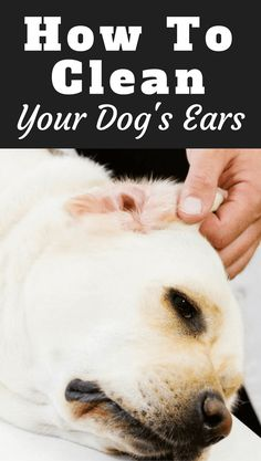 The ears are often overlooked for grooming and require special care as they are so sensitive.Learn how to clean your Labradors ears properly in our guide.