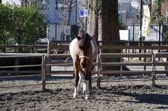 "Haflinger ""Macaron"" in Yoyogi pony park"