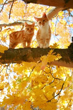 kittens in a tree........autumn