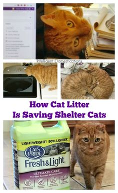 Save a shelter cat with your purchase of Cats Pride litter. For each green jug you buy, Cats Pride will donate one pound of litter to rescue shelters all across America. Nominate a shelter in your area by visiting our post for the info. Cat Light, Family Budget, Cat Behavior, Siamese Cats, Cat Food, Beautiful Cats, Homemaking, Your Dog, Dog Cat