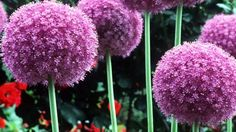 #Damit Allium im Frühling blüht, pflanzt man die Zwiebeln bereits im Herbst des vorhergehenden Jahres in die Erde. Die Vielfalt der Hybriden ist groß. Man sollte die Blütenstände stehen lassen. Selbst wenn sie trocken sind, setzen sie einen formalen Akzent in der Gestaltung. Nachteil vieler Hybriden, die meist länger blühen als die Wildarten, ist das frühzeitige Einziehen des Blattwerks. Die hohen Formen bevorzugen trockene, warme Standorte.