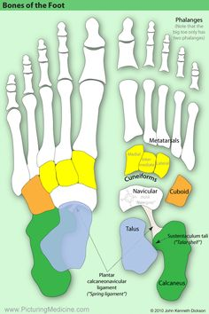 Medicine in the picture: - Anatomy Foot Anatomy, Anatomy Bones, Human Body Anatomy, Human Anatomy And Physiology, Muscle Anatomy, Skull Anatomy, Anatomy Images, Nursing School Tips, Medical Anatomy