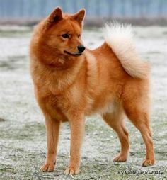 """Finnish Spitz Dog is now honored as the national dog of Finland. Used in antiquity to track large game such as polar bears and elk, in more recent times the Finnish Spitz has been used as a """"bark pointer"""" for birds and small game: these dogs can bark at an extremely high rate, some as frequently as 160 barks per minute."""