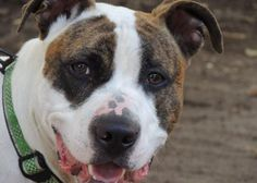 Ray is an adoptable Pit Bull Terrier searching for a forever family near New York, NY. Use Petfinder to find adoptable pets in your area.