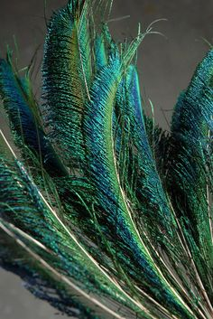 peacock plume feathers.