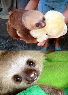 Looking at this little sloth's face just makes all the evil in the world melt away.
