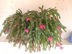 Plant annuals and biennials to make your flower beds brighter. These fast growing flowers let you change how Easter Cactus, Cactus Flower, Flower Pots, Crassula Ovata, Garden Junk, Christmas Cactus, Perfect Plants, Blooming Plants, Large Plants