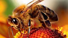 Nouveau pesticide autorisé en Europe: les abeilles en danger