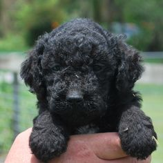 Gracie Mae! This is my black Goldendoodle Black
