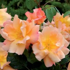 Fighting Temeraire English Rose  Rich apricot blooms with an area of yellow behind the stamens. Medium to strong, very fruity fragrance with...
