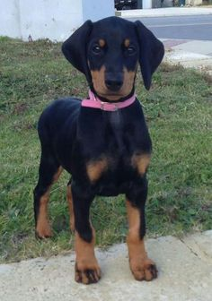 The Doberman Pinscher is among the most popular breed of dogs in the world. Known for its intelligence and loyalty, the Pinscher is both a police- favorite Doberman Pinscher Dog, Doberman Dogs, Dobermans, Boxer Pup, Schnauzers, I Love Dogs, Cute Dogs, Big Dogs, Pets