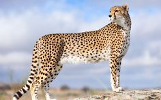 ~Cheetah~