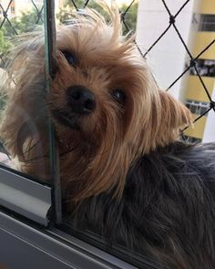 Yorkies, Terriers, Small Dogs, Yorkshire, Puppies, Pets, Animals, Gardens, Little Dogs