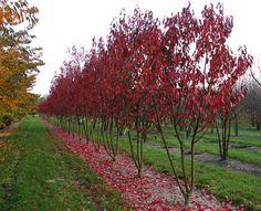 Prunus serrulata 'Royal Burgundy'