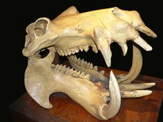 A hippo's skull, showing the large canine teeth used for fighting