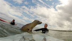Matt Stanley & Andrew Flounders got the surprise of a lifetime when an adventurous seal interrupted their surfing session near Amble in Northumberland, England, on Aug. 3. The pair had been on the water enjoying the waves when Flounders felt something nudging his foot.