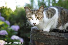疑惑 | Flickr - Photo Sharing! 紫陽花と猫です。