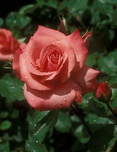 "Rose ""City of Leeds"" - Salmon-pink. Orange salmon - Floribunda Rose - Mild fragrance - Bred by Samuel Darragh McGredy IV (1962)"