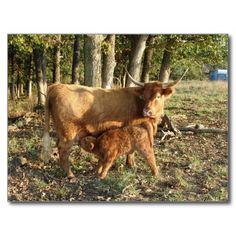 Highland Cow with Calf Postcard -- 75% off cards + 10% off all products    USE CODE: LASTMINCARDS
