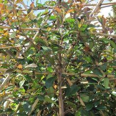 Photinia fraseri 'Red Robin' voorgeleid - lei-photinia/glansmispel leivorm