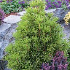 Dwarf umbrella pine