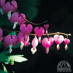 Dicentra spectabilis, heritage Bleeding Hearts. Not a native, but long loved perennial deserving of a spot in dappled shade in my garden.