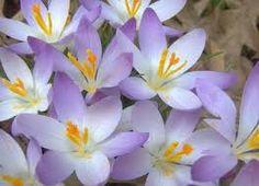 endangered species flowers - Google Search