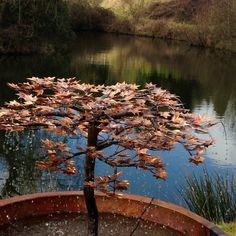 Japanese Maple Fountain - Water Features - Patio