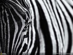 Fotografía de una cebra, Parque Nacional de Etosha (Namibia). Imagen captada por Marco Tagliarino.