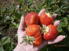 BIO hnojivo na jahody #strawberries BIO fertilizer #gargening