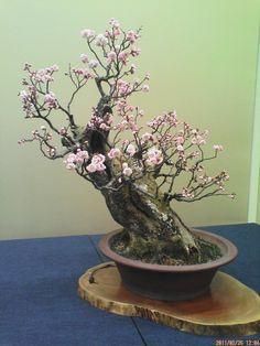 An ancient bonsai Flowering Bonsai Tree, Bonsai Tree Care, Bonsai Tree Types, Terrarium Plants, Bonsai Plants, Bonsai Garden, Ikebana, Prunus Mume, Plantas Bonsai