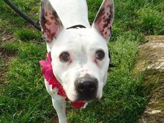 SAFE - 05/18/13 Manhattan Center -BLANCA A0964597. I am a female white and black pit bull mix. The shelter thinks I am about 6 YEARS old. She's a friendly girl, low key, calm and gentle, happy to be petted, but not ready for prime time super snuggling! Blanca rocked her behavior assessment indicating she will be a good fit in just about any household. https://www.facebook.com/photo.php?fbid=609308445748705=a.611290788883804.1073741851.152876678058553=1